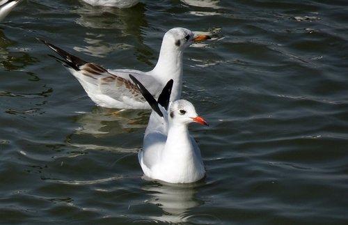 gull  bird  black-headed gull