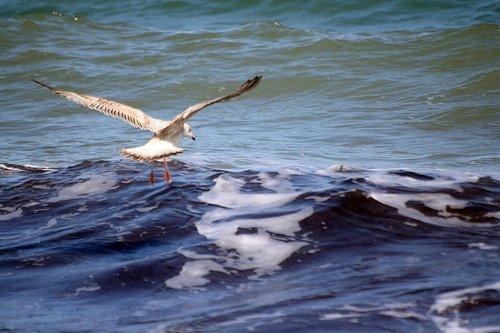 gull  descent  catch