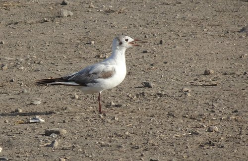 gull  bird  migratory