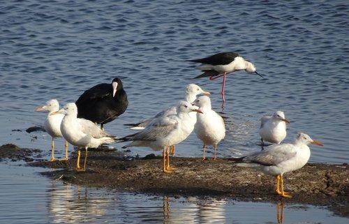 gull  bird  slender-billed gull