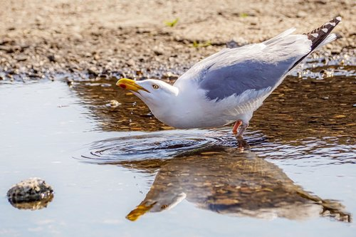gull  drink  water