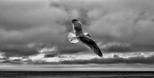 gull sea gull fly