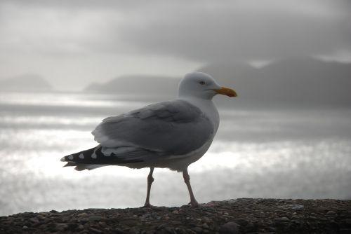 gull ireland dingle