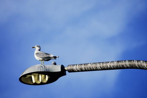 Gull On A Light