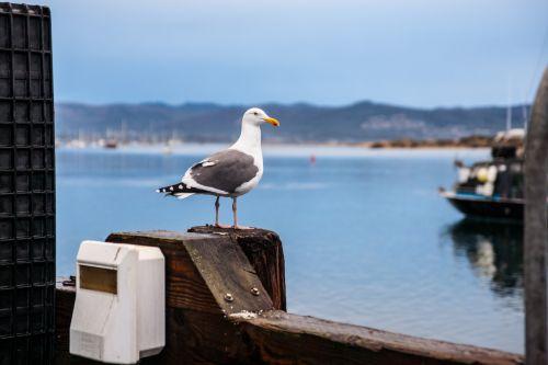 Gull Sits On Railing