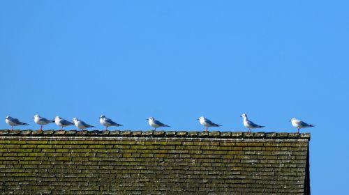 gulls sit roof