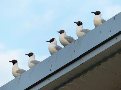gulls birds in a series