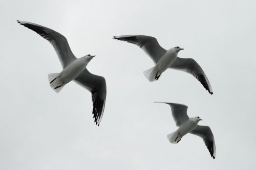 gulls formation birds