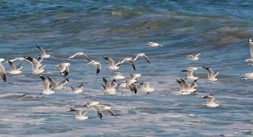 gulls birds in flight seagull