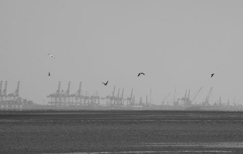 gulls bremerhaven port
