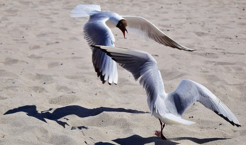 gulls  fight  dispute