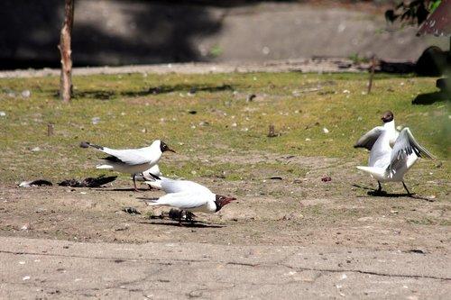 gulls  black-headed gulls  chroicocephalus ridibundus