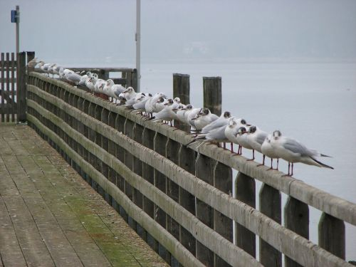 gulls fence ammersee