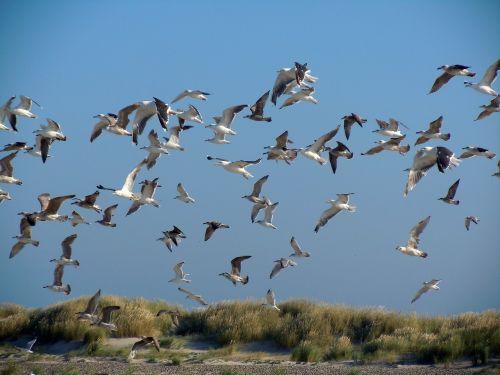 gulls dunes sea birds