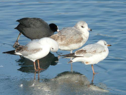 gulls bird animal