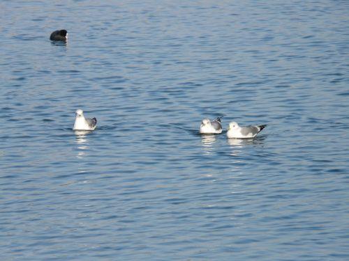 gulls coot swim
