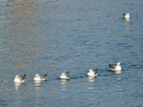 gulls water swim