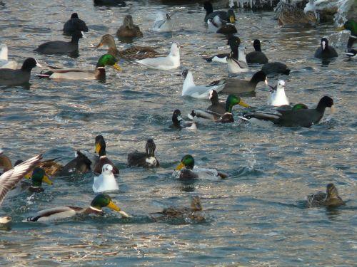 gulls ducks coots
