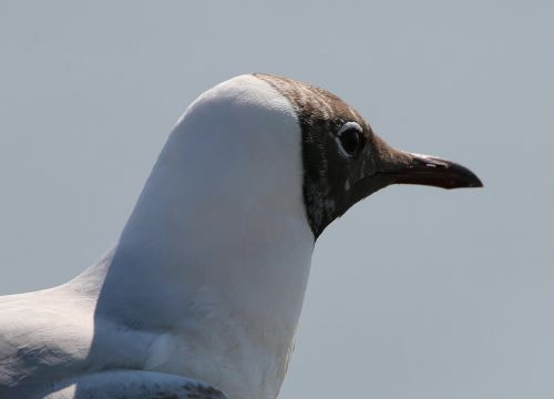 gulls black headed gull chroicocephalus ridibundus