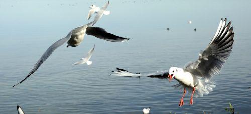 gulls bird landing