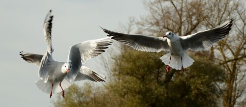 gulls bird fly