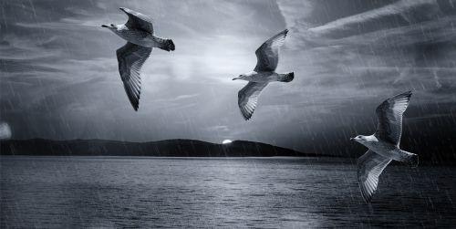 kaukolės,paukščiai,skrydis,skristi,vanduo,ežeras,jūra,dangus,lietus,kraštovaizdis,juodos ir baltos spalvos įrašymas