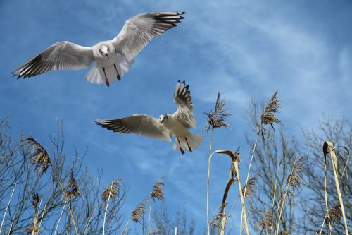 gulls,fly,bird,sky,wing,freedom,locomotion,feather,plumage,air,flight form,water bird,animal,spring dress,nature,creature,bill,cloudiness,reed,clouds,föhn clouds,blue,marsh plant,plant,teichplanze,summer,grasses,free photos,free images,royalty free