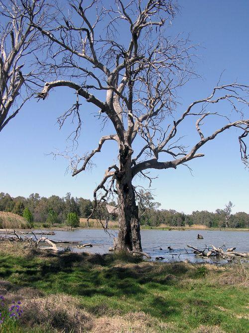 gum tree dead