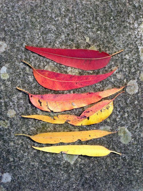gum leaves leaves leaf