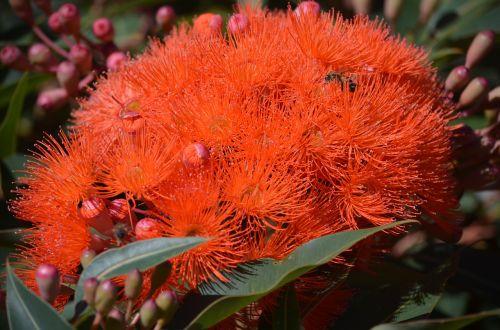 gum tree australian native