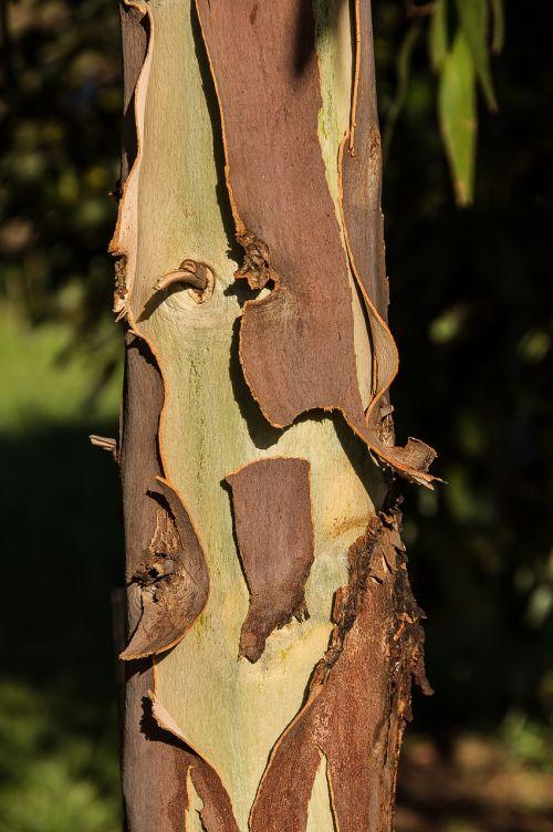 gumos medis,žievė,lupimasis,ruda,žalias,medis,eukaliptas,bagažinė,tekstūra,australia,gimtoji