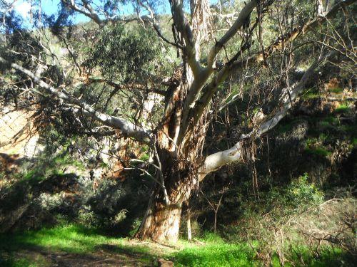 guma & nbsp, medis, filialai, žievė, bagažinė, gumos medis