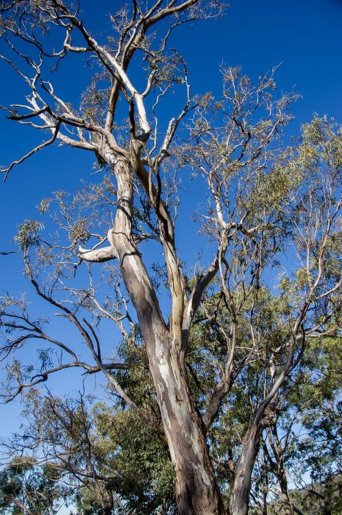gum trees eucalypts green