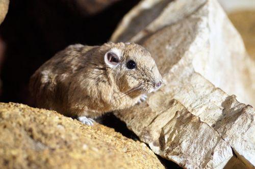 gundi saharan rodent vivarium