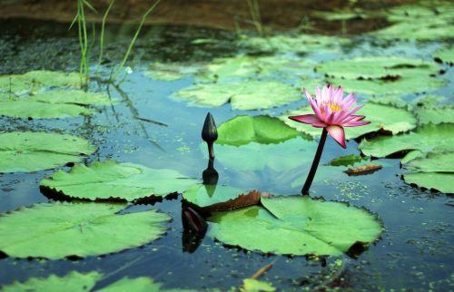 gwangokji lotus flowers