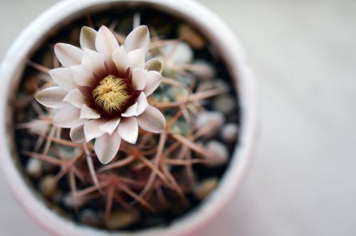 gymnocalycium cactus flower cactus