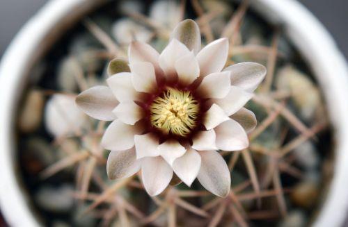 gymnocalycium flowering cactus succulent