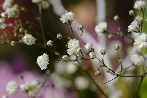 gypsophila rispige gypsophila gypsophila paniculata