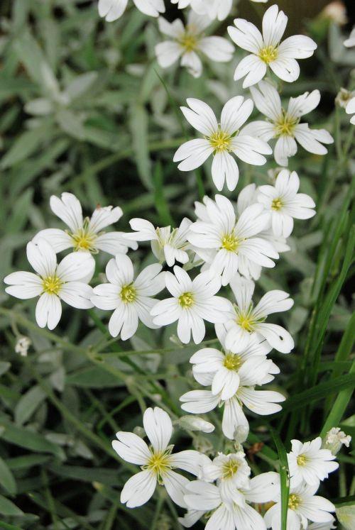 gypsophila white flower
