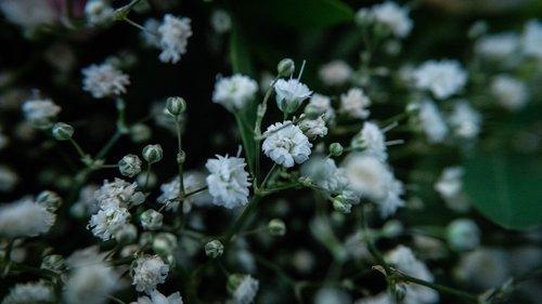 gypsophila  flowers  nature