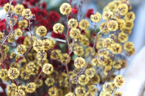 gypsophila elegans  yellow  flowers