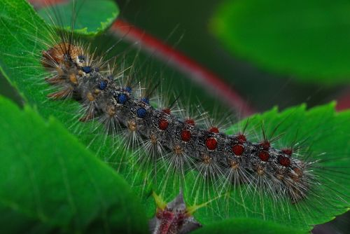 gypsy moth caterpillar nature