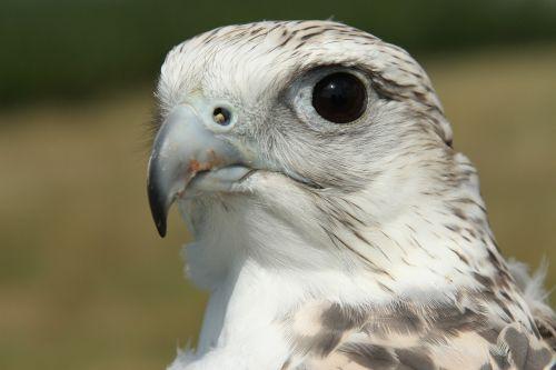 gyrfalcon falcon bird