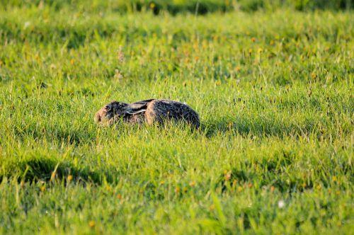 kiškis, žolė, slėpti, gamta, gyvūnas, kiškis žolėje