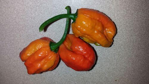 habanero peppers hot vegetable