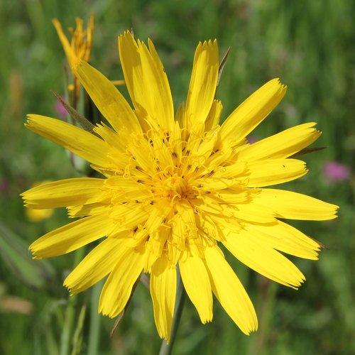 had salsify  tragopogon  yellow