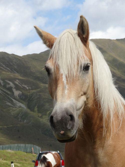 haflinger horse pony