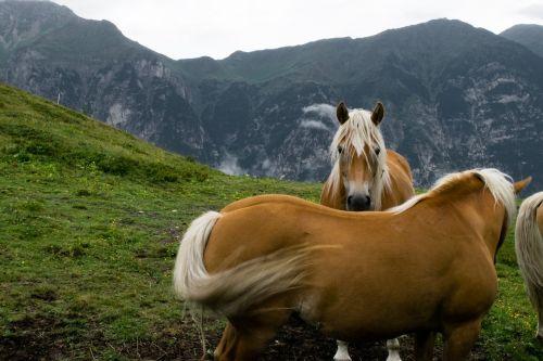 haflinger horse draft horse