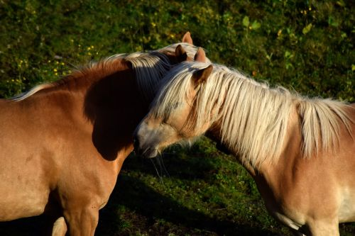 haflinger horse animal