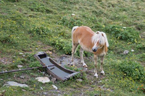 haflinger kaltblut south tyrol